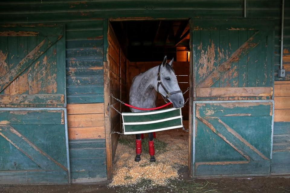 Congressional Storm relaxed in the stall in the barn.